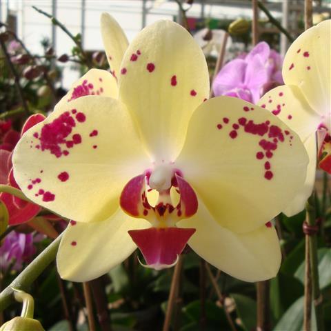 Phalaenopsis-