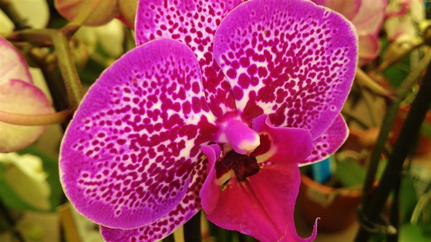 Phalaenopsis x Hybridus_11