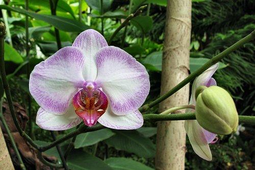 Phalaenopsis x Hybridus_YY