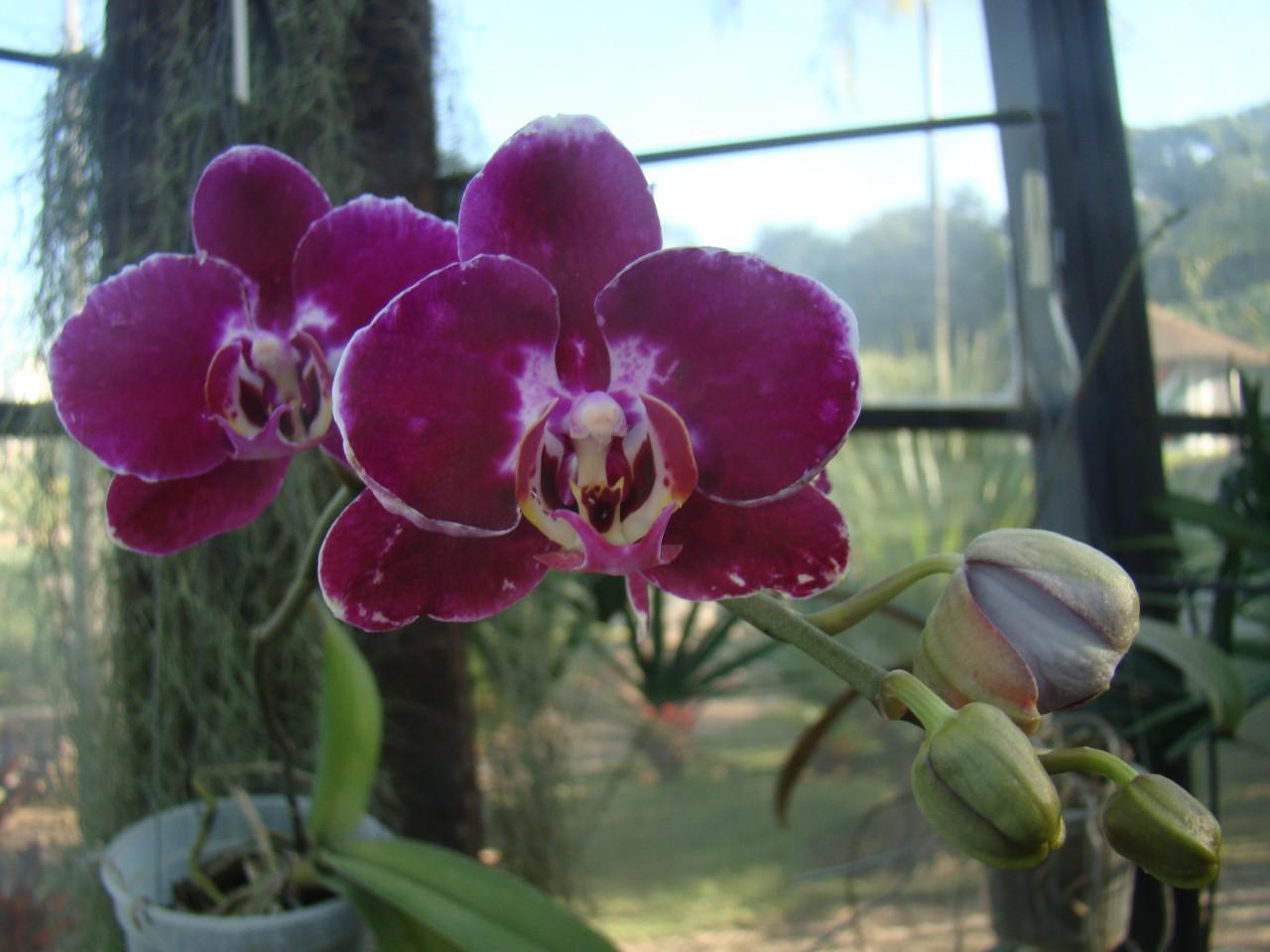 Phalaenopsis-x-hybridus-2