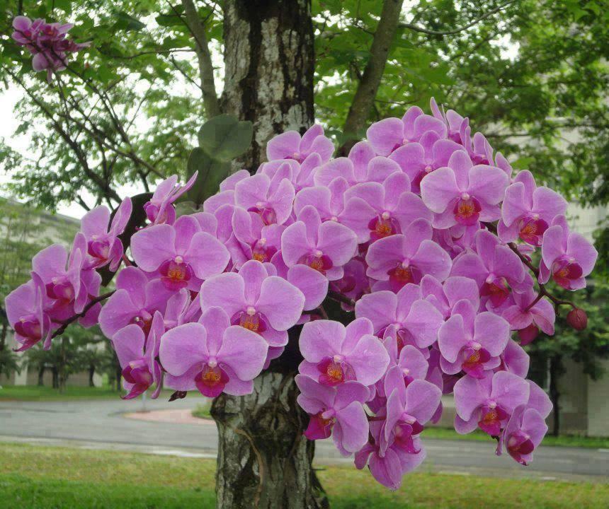 Phalaenopsis_8