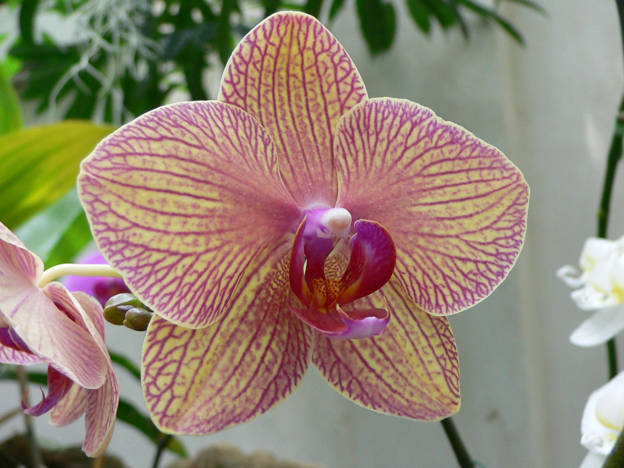Phalaenopsis_kaleidoscope2