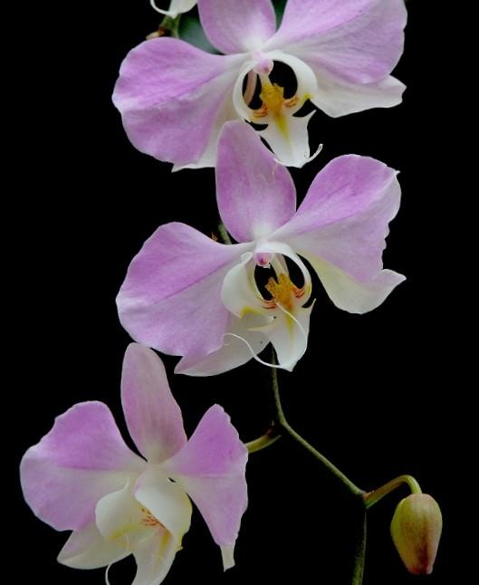Phaleanopsis sanderiana