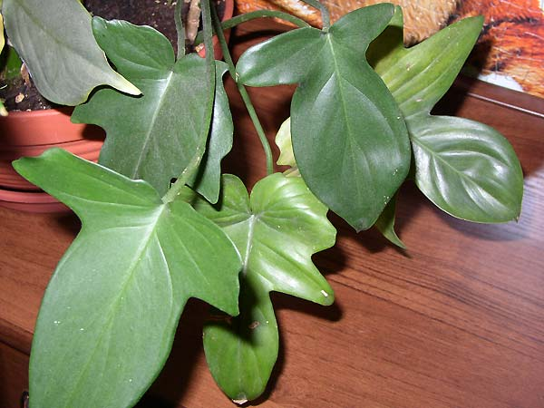Philodendron Panduriforme_Y