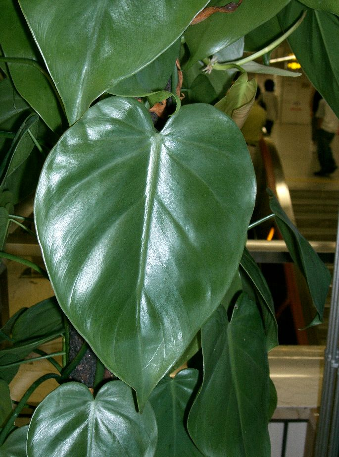Philodendron_scandens