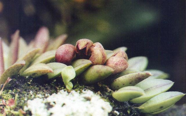 Phloeophylla pubecens