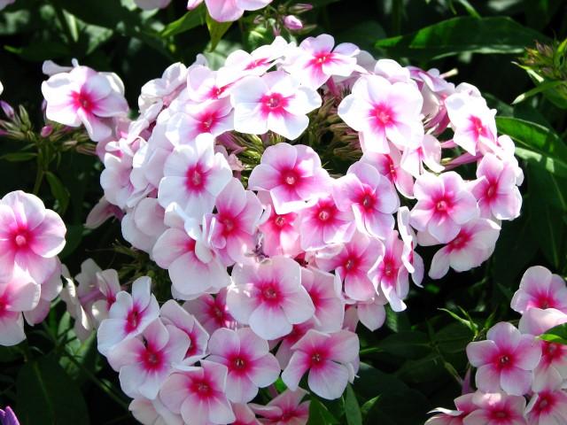 Phlox_paniculata_(bicolor_cultivar)_01