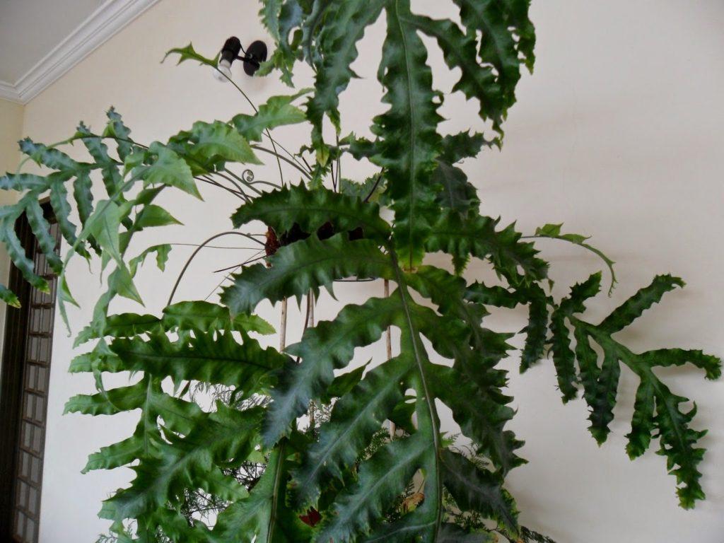 Phymatosorus scolopendria1