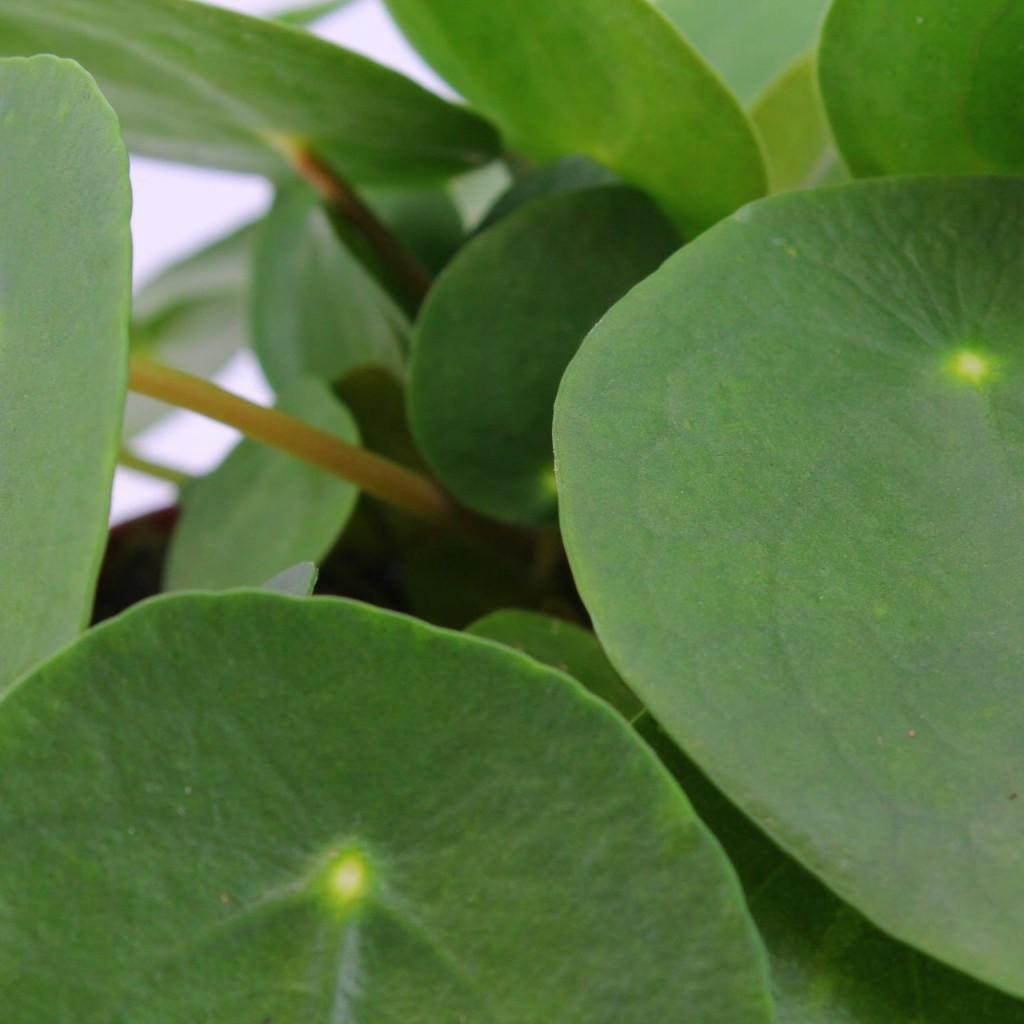 Pilea Peperomioides1