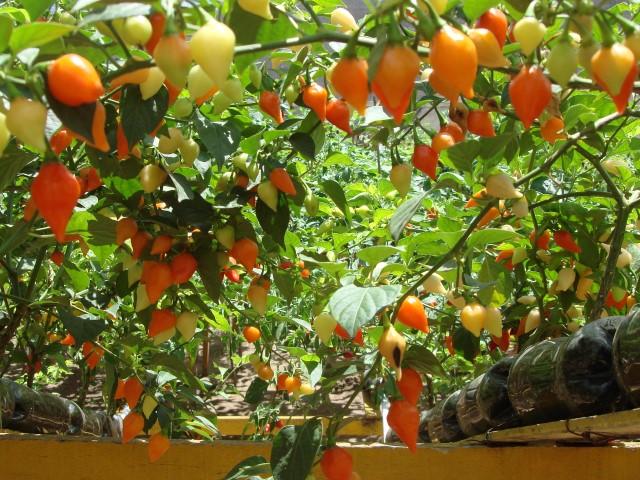 Pimenta Malagueta (Capsicum frutescens)