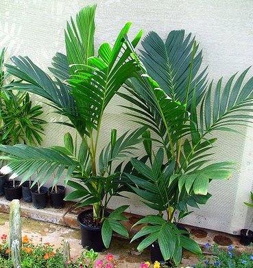Pinanga-coronata