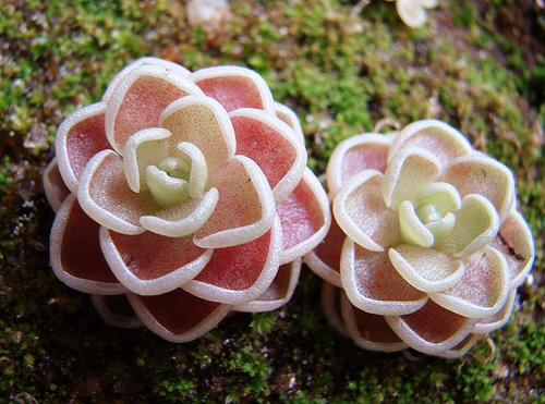 Pinguicula-esseriana