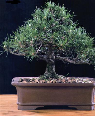 Pinheiro-Negro (Pinus thumbergii)