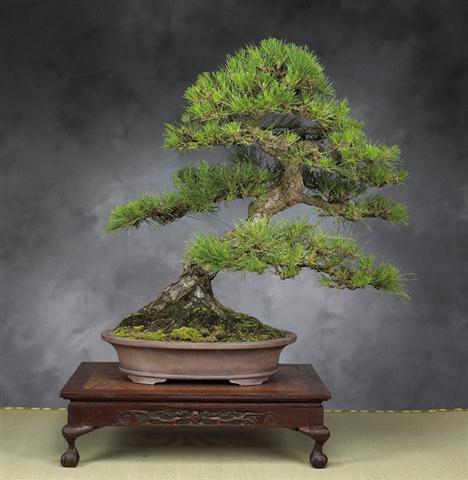 Pinus (Small)