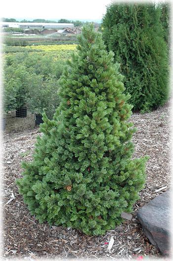 Pinus_aristata