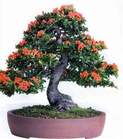 Piracanta - Pyracantha angustifolia