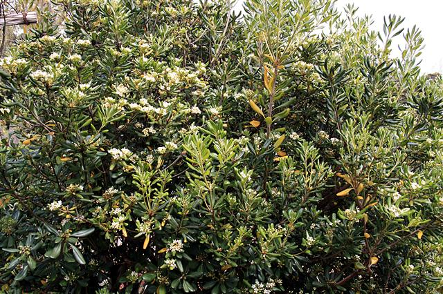 Pittosporum_tobira