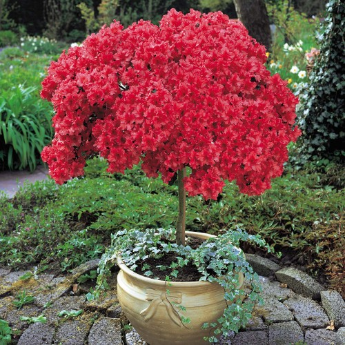 Saiba quais s o os cuidados fundamentais no cultivo de - Azalea cuidados planta ...