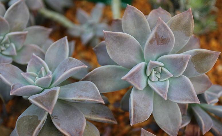 Planta fantasma (Graptopetalum paraguayense)
