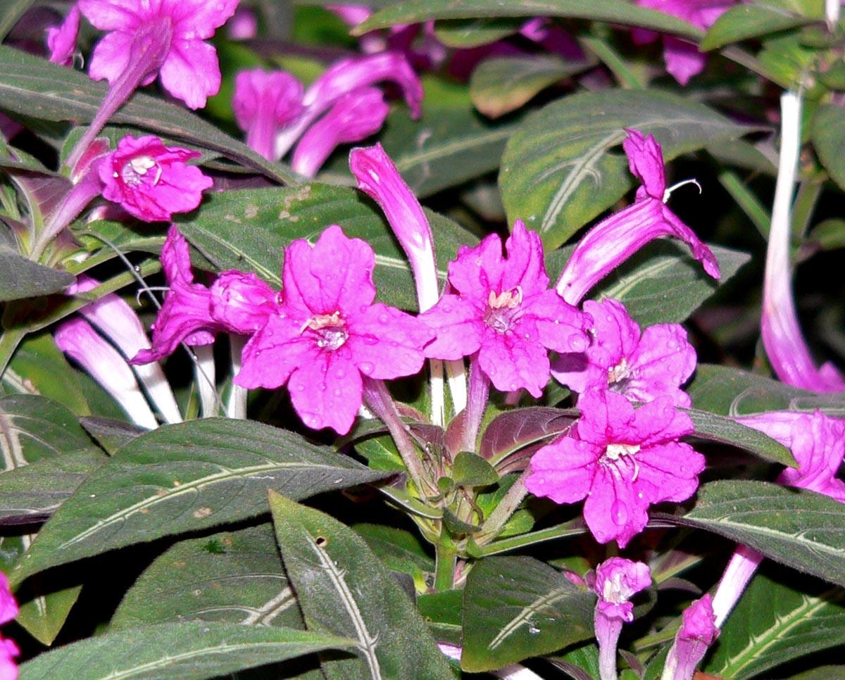 Planta-veludo (Ruellia_makoyana)