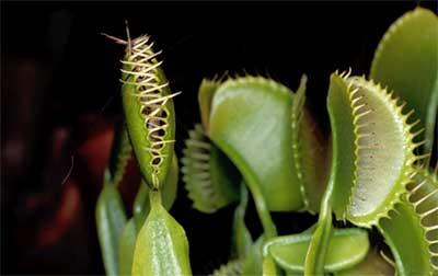 Plantas_Insectioras