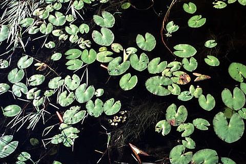 Plantas_aquaticas