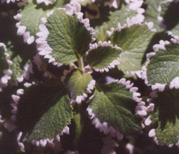 Plectranthus oertendahlii variegatus