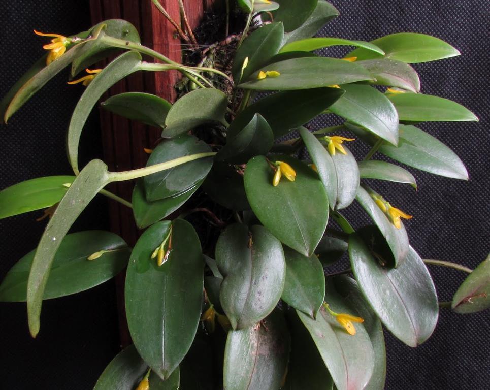 Pleurothallis Acianthera luteola