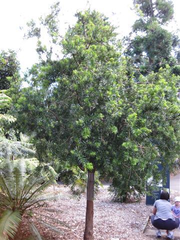 Podocarpus Lamberti-1