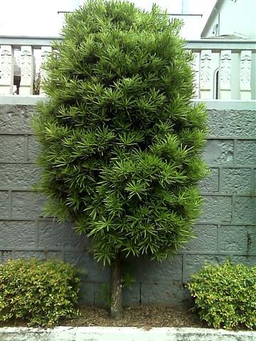 Podocarpus Lamberti