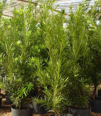 Podocarpus lambertii