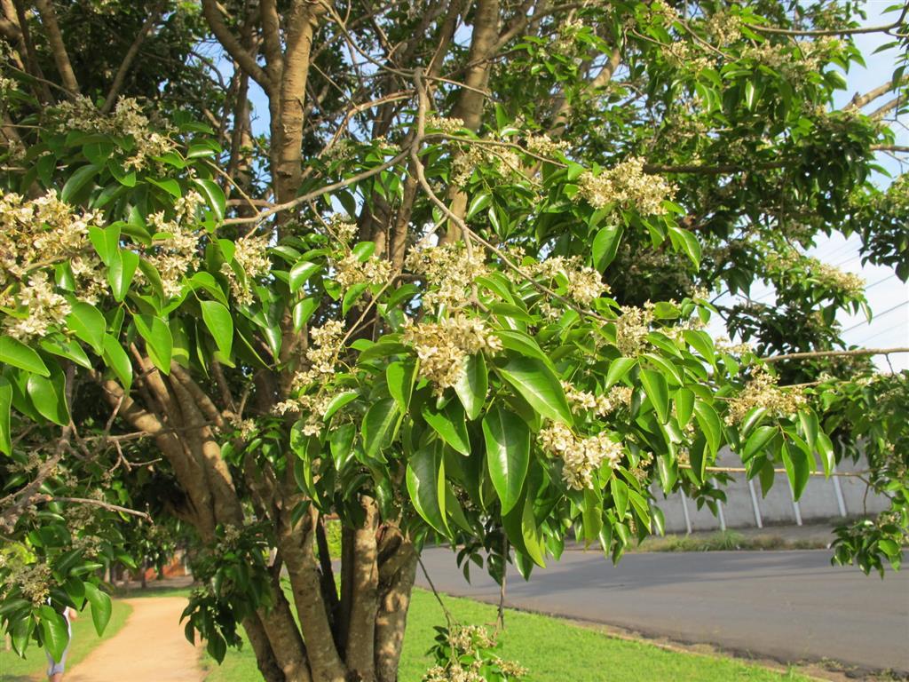 Poecilanthe parviflora