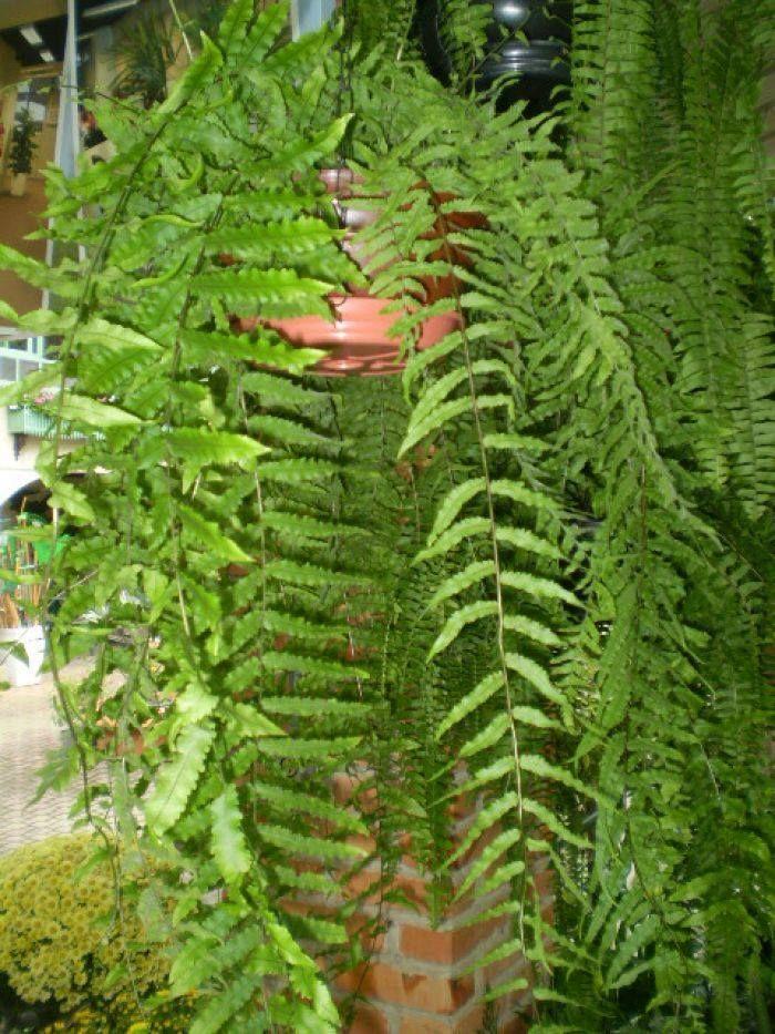 Polypodium persicifolium