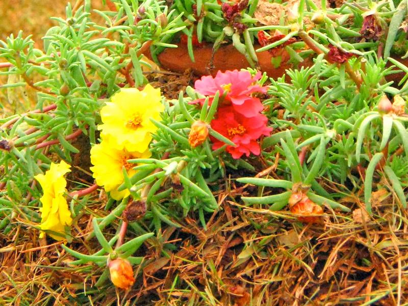 Portulaca-grandiflora-02