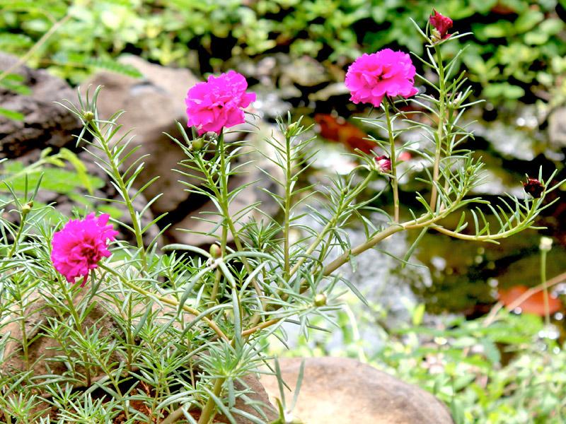 Portulaca-grandiflora-03
