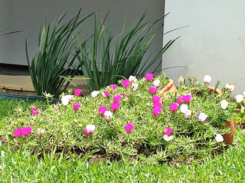 Portulaca-grandiflora-04