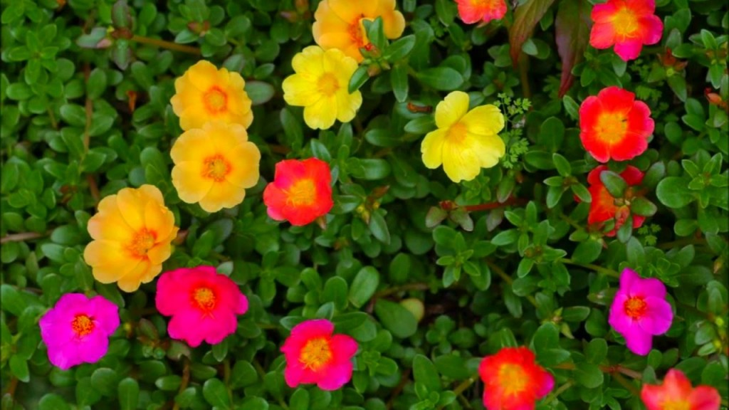 Portulaca-grandiflora