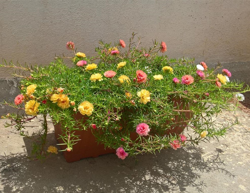 PortulacaGrandiflora (Medium)