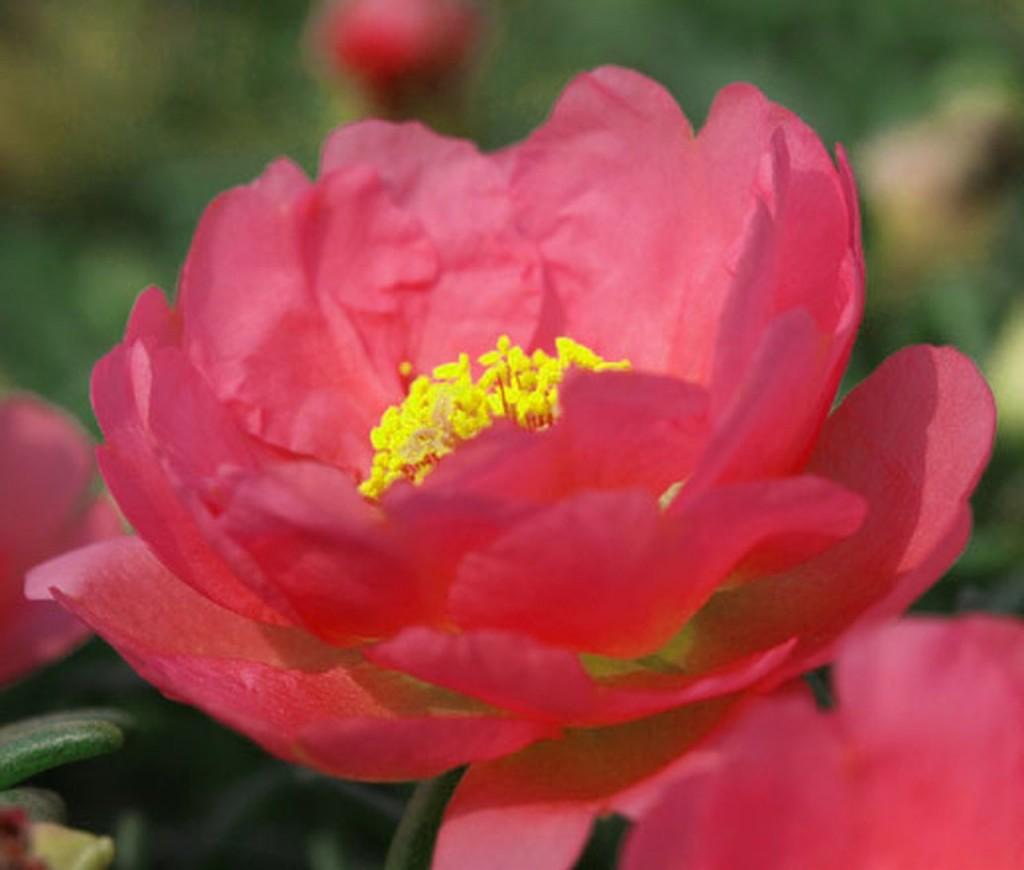 Portulaca_Grandiflora 64