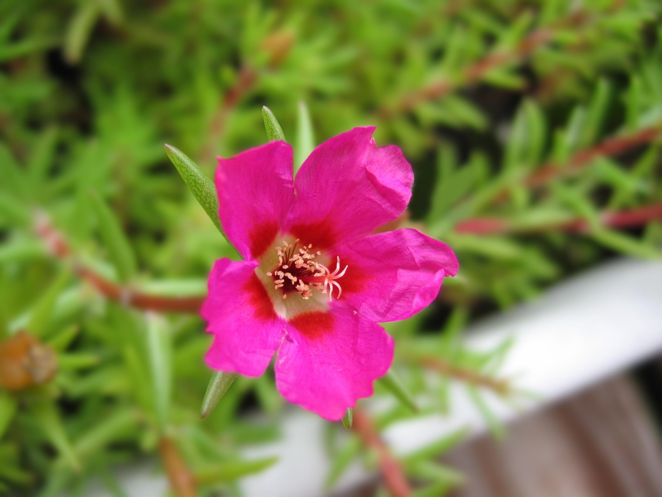 Portulaca_grandiflora_flower