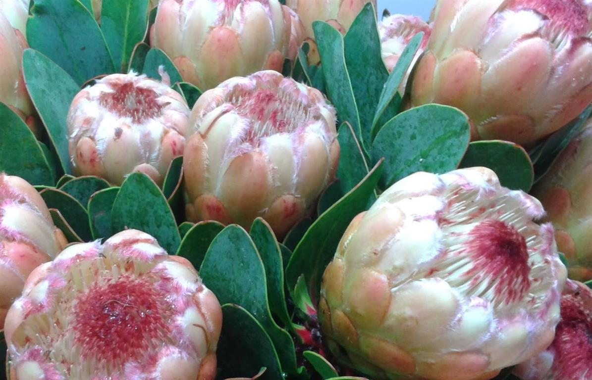 Protea Grandicolor,