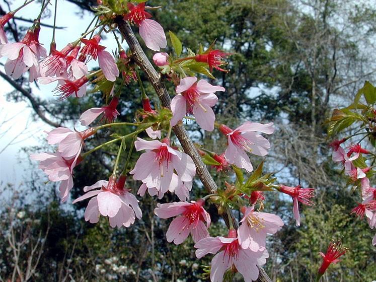 Prunus-00