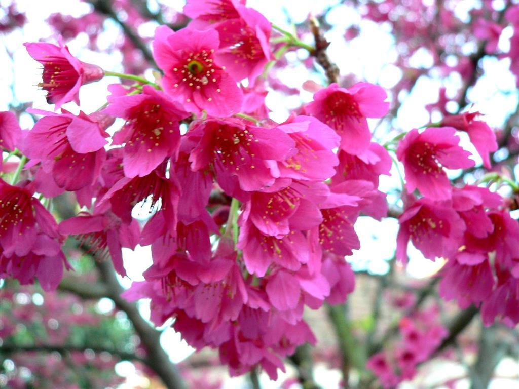 Prunus Campanulata-1