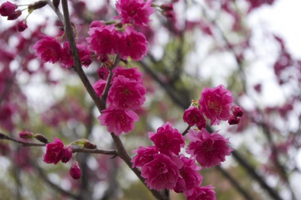 Prunus Campanulata_33