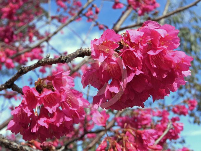 Prunus-campanulata-1