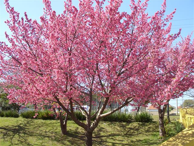 Prunus campanulata_222