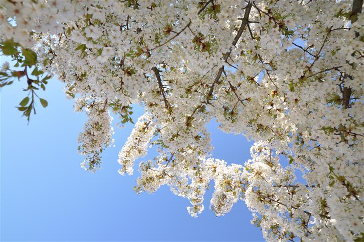 Prunus lannesiana Wheels-var-speciosa Makino