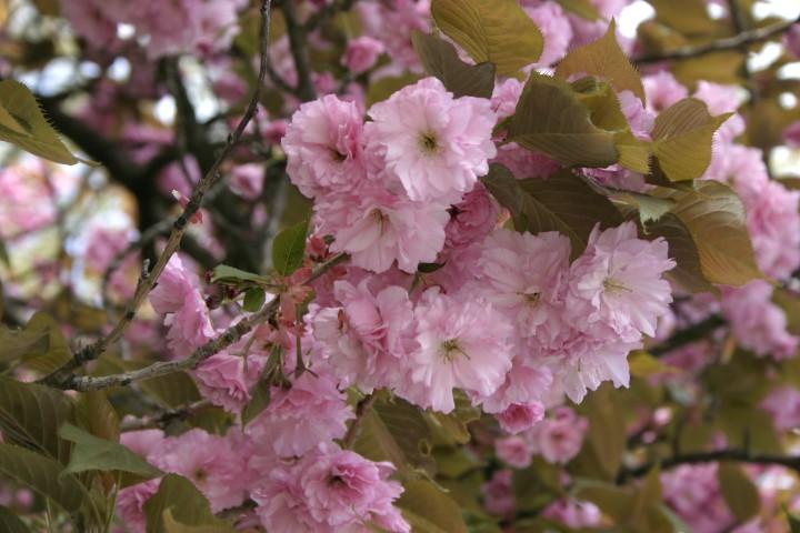 _Prunus_serrulata_0