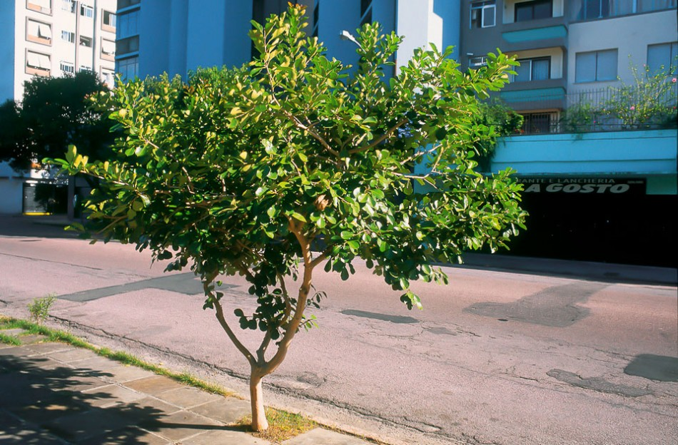 Araçá - Psidium Cattleianum