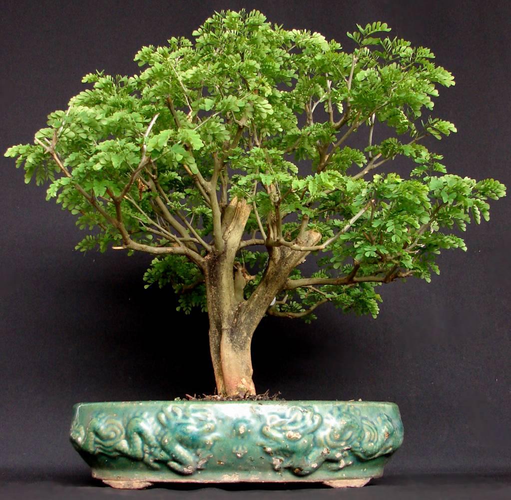 Pteco bonsai